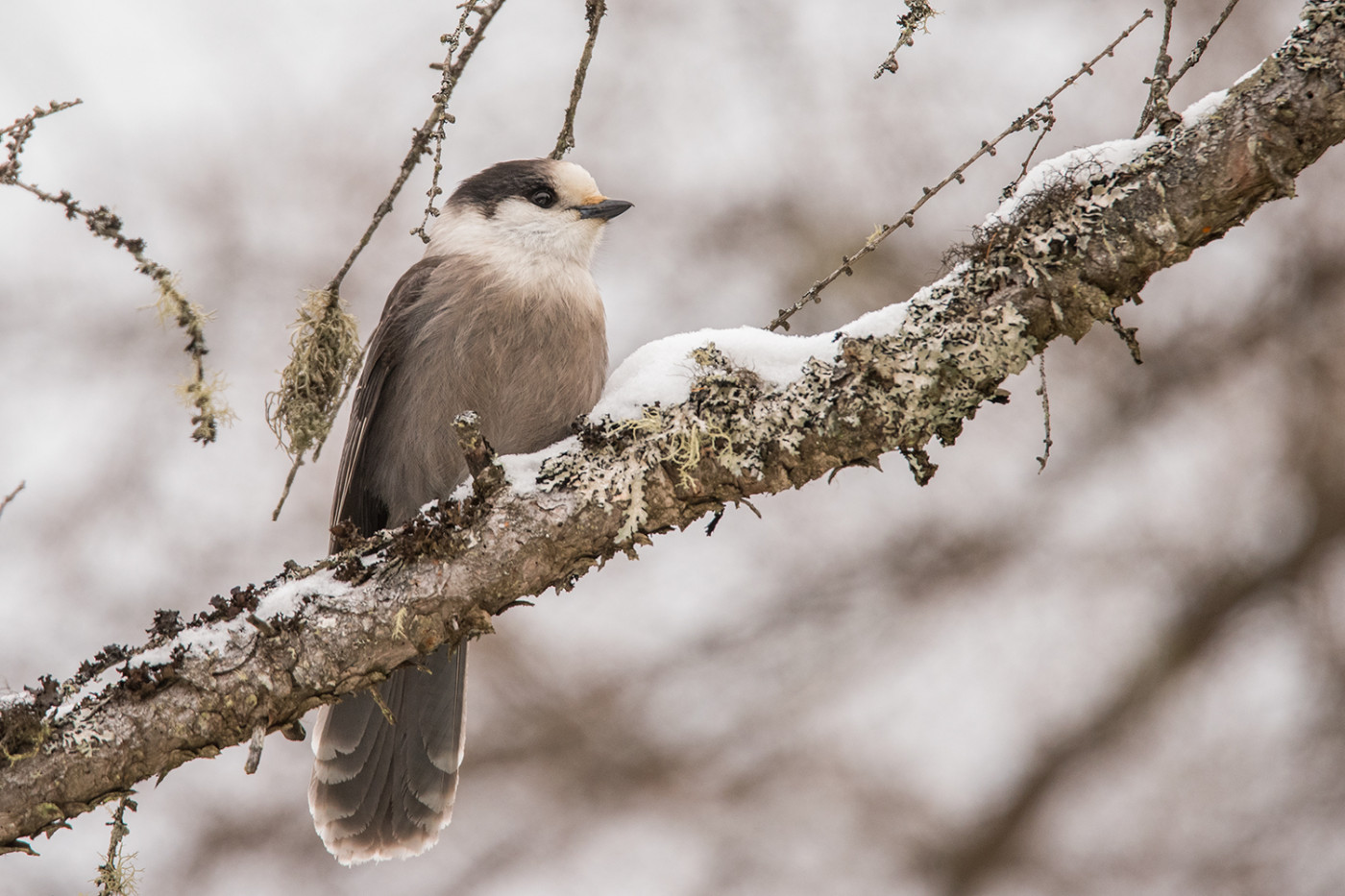Gray Jay at Sabattis Bog by Sue Barth