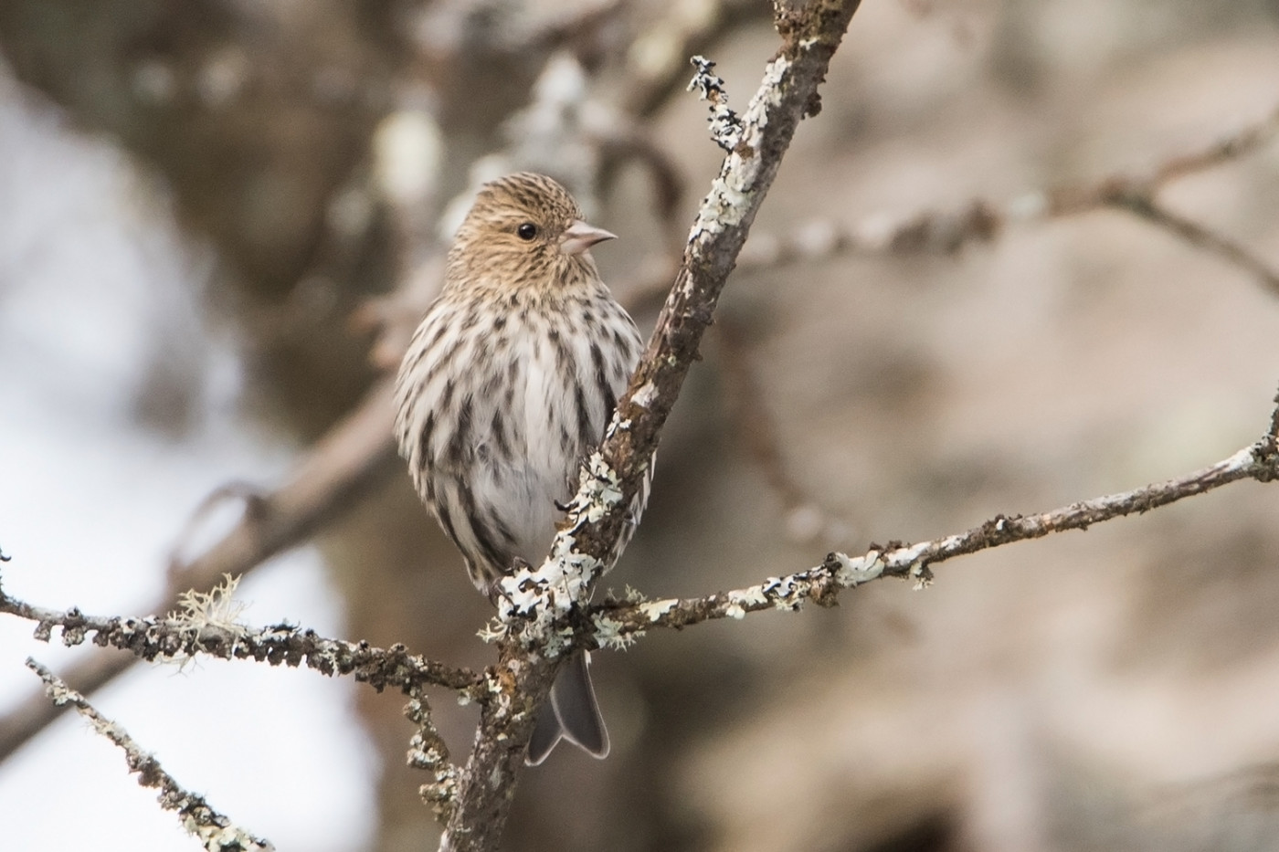 Pine Siskin by Sue Barth