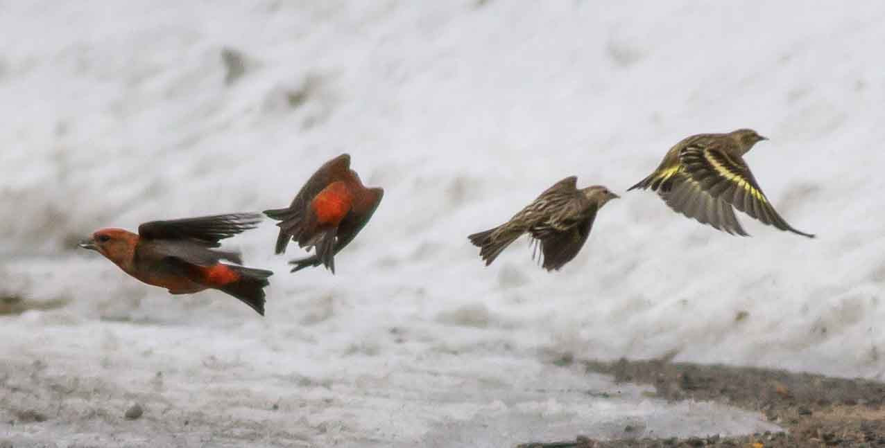 Male Red Crossbills & Pine Siskins taking flight by Rob Bate