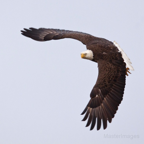 Bald Eagle by Larry Master