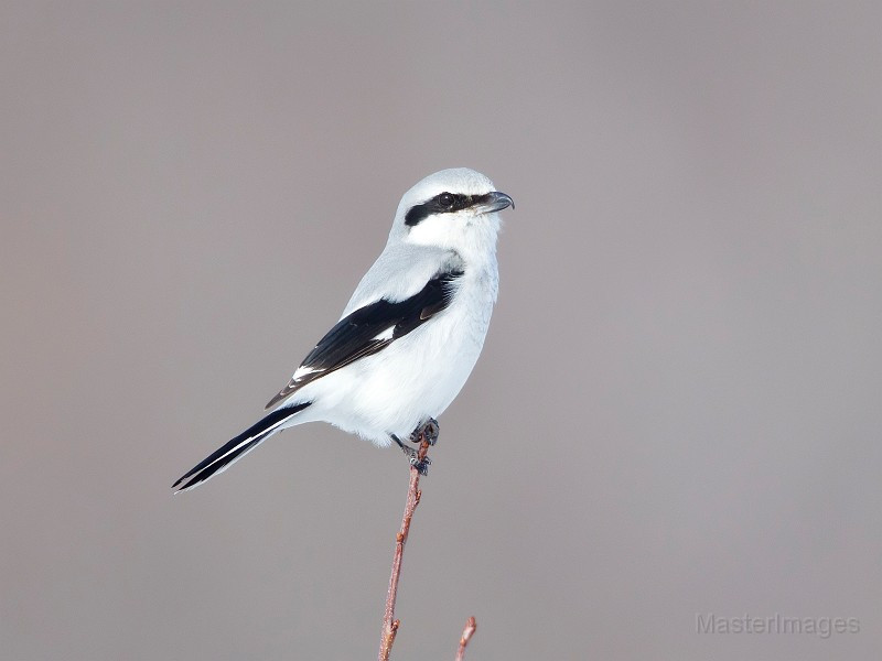 Northern Shrike by Larry Master